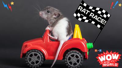 Cover art for Tinkerclass (Week 2 Day 1): Rat Race!